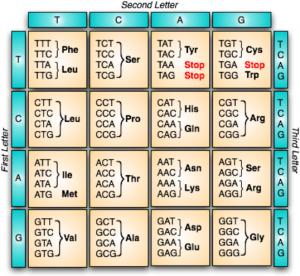 Tabela que mostra possíveis sequências de três nucleotídeos e qual aminoácido será adicionado na formação de uma proteína.